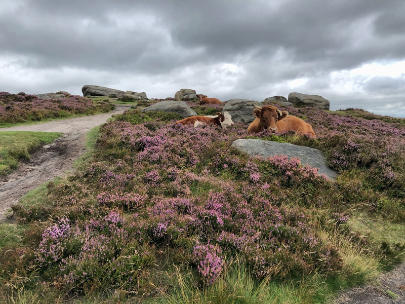 Cows relaxing in purple heather on Higger Tor